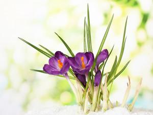 Spring-Crocus